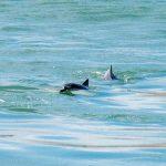 Golfinhos na Praia da Pipa